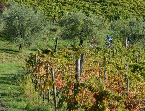 Barolo_Bike_Tour_vineyard